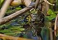 Pelophylax esculentus 002.jpg