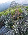 Peninsula Sandstone Fynbos - OlifantsOog Cape Town.JPG