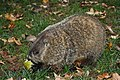 Pennsbury Manor Groundhog 02.JPG