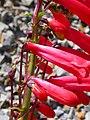 Penstemon eatonii (4412142291).jpg