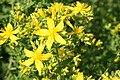 Perfoliate St John's Wort, Hypericum perforatum (8845698352).jpg