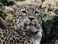 Persian Leopard 05.jpg