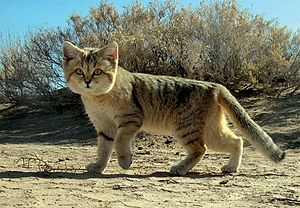 Sand cat - Sand cat photographed in Iran