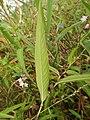 Persicaria odorata subsp. conspicua 5.JPG
