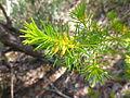 Persoonia isophylla 3.jpg