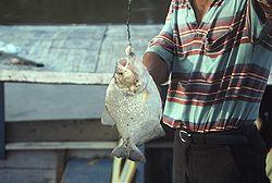 Un pêcheur avec un piranha noir, au Pérou