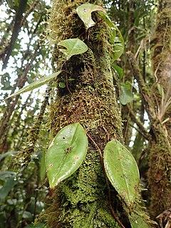<i>Phainantha</i> Genus of flowering plants