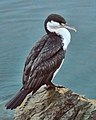 Phalacrocorax varius -Queen Charlotte Sound, Marlborough, New Zealand-8.jpg