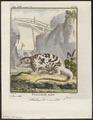 Phalangista maculata - 1700-1880 - Print - Iconographia Zoologica - Special Collections University of Amsterdam - UBA01 IZ20300049.tif