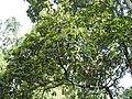 Phoebe cooperiana flowering tree DSCN9588.jpg
