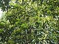 Phoebe cooperiana flowering tree DSCN9589.jpg