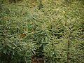 Phyllanthus talbotii (15561071404).jpg