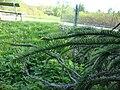 Picea abies f virgata Käärmekuusi Ormgran C DSC02585.JPG