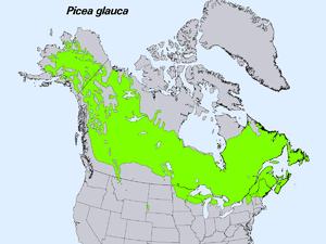 White spruce - Image: Picea glauca levila