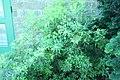Pieris japonica Whitewater 2zz.jpg
