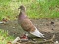 Pigeon (Columbidae).jpg