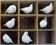 180px Pigeons in holes
