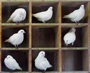 Pigeon-hole messagebox - The inspiration for the name: racing pigeons being held in compartments