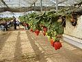 PikiWiki Israel 18902 Strawberries in Talmei-Yosef in The Negev.JPG