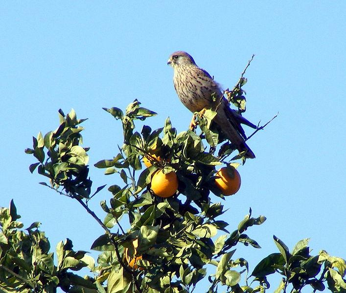 בז על עץ תפוז