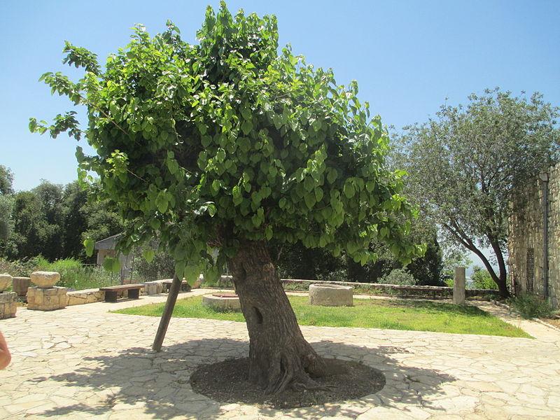 עץ התות העתיק בקיבוץ חניתה