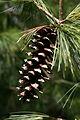 Pine cone 777.jpg