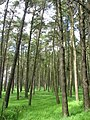 Pine wood, Ada Hill - geograph.org.uk - 568029.jpg