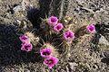 Ping purple flowering barrel cactus in the sonoran desert.jpg