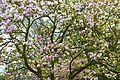 Pink Magnolia (4558530245).jpg