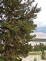 Pinus balfouriana austrina 8.jpg
