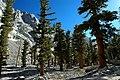Pinus balfouriana cwsteeds.jpg