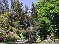 Pinus brutia-jdpr.JPG