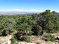 Pinus edulis kz07.jpg