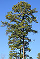 Pinus taeda loblolly pine large crown.jpg