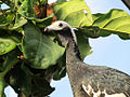 Pipile cumanensis -Topeka Zoo, Kansas, USA -upper body-8a.jpg