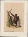 Pithecus satyrus - 1842-1849 - Print - Iconographia Zoologica - Special Collections University of Amsterdam - UBA01 IZ19800019.tif