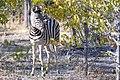 Plains Zebra Right 2019-07-26.jpg