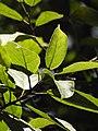 Plant Ficus exasperata DSCN0276 01.jpg