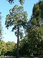 Platany Hlohovec - Plane-trees Hlohovec, Slovakia - panoramio (12).jpg