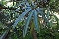 Plerandra elegantissima kz01.jpg