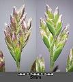 Poa annua (subsp. annua) sl25.jpg