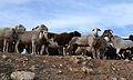 Poble vell de Belchite, ovelles.JPG