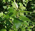 Pod lipskiem liście krzewu do ident. 17.07.09 pl.jpg