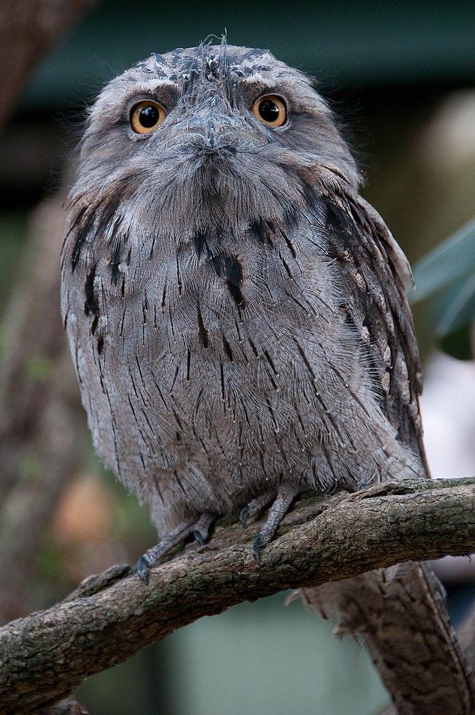 File Podargus Strigoides Featherdale Wildlife Park