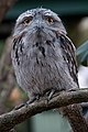 Podargus strigoides -Featherdale Wildlife Park, Doonside, Sydney, Australia-8.jpg