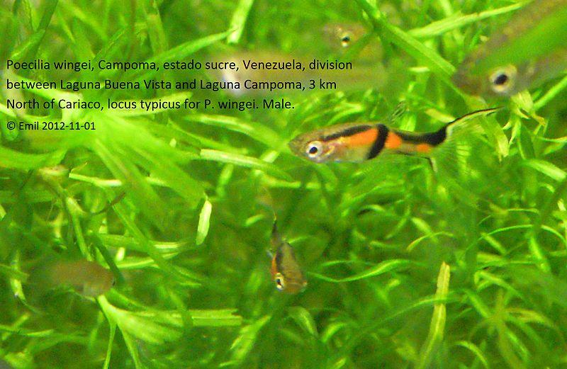 File:Poecilia wingei locustypicus male 1c 20121101.jpg