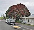 """Pohutukawa """"Christmas Tree"""" (15995687560).jpg"""