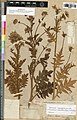 Polypsecadium magellanicum - herbarium sheet MNHN.jpg