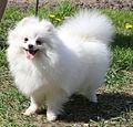 Pomeranian White.jpg