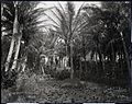 Pond Lilies, Ainahau (1), photograph by Brother Bertram.jpg